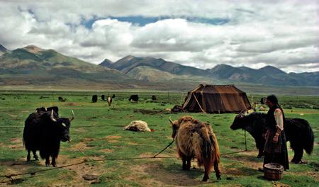 Is this the inevitable future of the Tibetan yak? It's fur died white to carry Chinese tourists into the sacred lake of Yamdrok Tso?