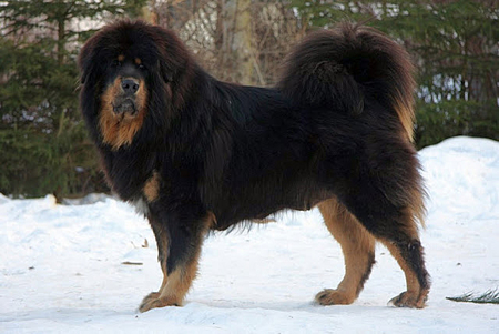 Tibetan Mastiff Re-Branded As a Chinese Dog By The FCI