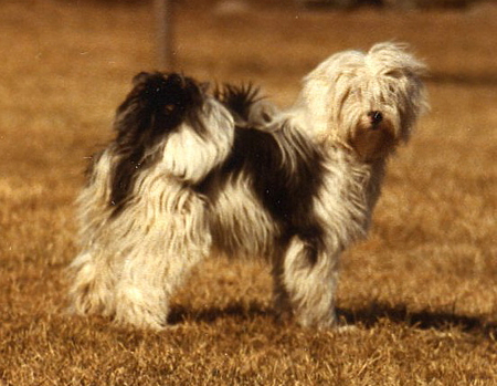 Tibetan Terrier Re-Branded As a Chinese Dog By The FCI