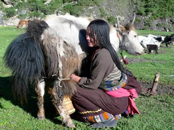 Tibet Milk
